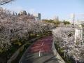 東京ミッドタウンで桜が満開に…